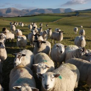 Sheep of the Howgills