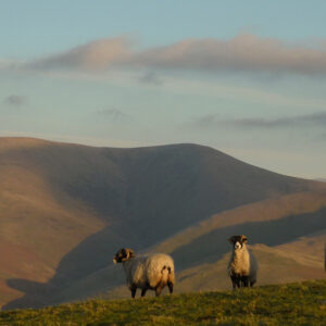 Sheep grazing in the Howgills
